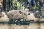 Brown Wild Pig At The Zoo. Herd Of Wild Pigs Enclosed In A Zoo poster