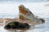 Постер, плакат: Нильский крокодил