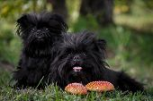 Two Strange Black Creatures Are Sitting In The Forest Next To The Fly Agaric. Dog Athenpinscher (aff poster