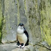 Little Penguin (eudyptula Minor). These Are The Smallest Of The Penguins, Inhabiting The Coastlines  poster