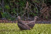 A Pair Of The American Black Vultures (coragyps Atratus) In Flamingo Campground. Everglades National poster
