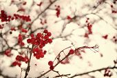 Rowanberry Twig In Snow. Bunch Of Rowan Berries With Ice Crystals. Rowanberry Branch. Berries Of Red poster