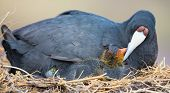 Red Knobbed Coot Sitting On A Nest With One Chick Protecting poster