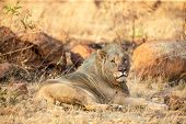 Young Male Lion Lying Down In Shade To Rest poster