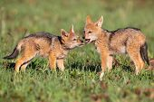 Two Black Backed Jackal Puppies Play In Short Green Grass To Develop Their Skills poster
