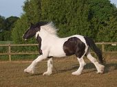 Traditional Gypsy Cob
