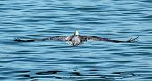 A Large Brown Pelican Hovers Over The Water On A California Beach. poster