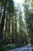 Giant coastal redwoods along the Avenue of the Giants in Northern california poster