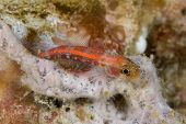 Common Ghostgoby in Lembeh Straits