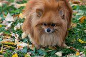 Breeds Of Domestic Dogs. Pomeranian Spitz poster