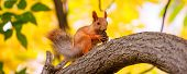 Cute Orange Furry Squirrel Eating In The Park During Autumn Fall Season, Banner poster