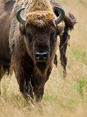 small herd of European bison (Bison bonasus), also known as Wisent or the European wood bison grazin poster