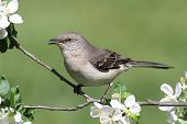 picture of mockingbird  - Northern Mockingbird  - JPG