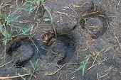image of hoof prints  - three prints of horse hoof over marsh - JPG