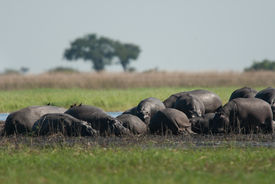 picture of mud pack  - Large group of hippopotamuses in mud Chobe National Park - JPG