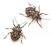 picture of shield-bug  - Rough Stink Bugs  - JPG