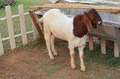 Постер, плакат: Белая коза на ферме забор