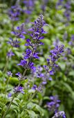 foto of purple sage  - Close Up Of Mealycup Sage Or Salvia Farinacea Flower - JPG
