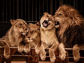 foto of lioness  - Lion and three lioness - JPG