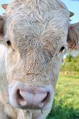 image of charolais  - a closeup on a charolais white calf - JPG