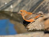 stock photo of crossbill  - Red Crossbill drinking Water by the pond - JPG