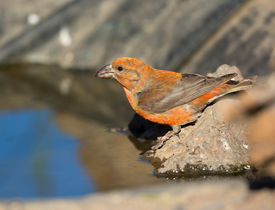 pic of crossbill  - Red Crossbill drinking Water by the pond - JPG