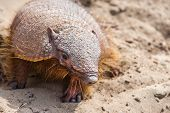 image of armadillo  - Armadillo from Peninsula Valdez in Patagonia - JPG
