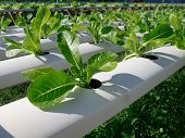 picture of hydroponics  - Green cos in hydroponic farm in Thailand - JPG