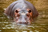 image of behemoth  - behemoth looking at the camera from the water - JPG