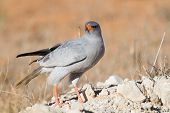 Pale Chanting Goshawk Feeding On Red Sand Dune Among Dry Grass In The Kalahari