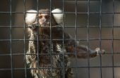 foto of marmosets  - A cute and small common Marmoset Callithrix jacchus on zoo cage - JPG
