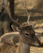 picture of cervus elaphus  - Young Iberian red deer head portrait detail - JPG