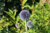 stock photo of lilas  - En lila lustig blomma i en park - JPG