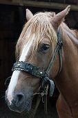 picture of harness  - The portrait of a chestnut harnessed horse - JPG