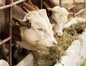 foto of manger  - Cows eating lucerne hay from manger on farm - JPG