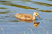 foto of baby goose  - A Baby Goosling Swimming in a Summer Pond
