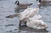 stock photo of trumpeter swan  - Pair of Trumpeter Swans  - JPG