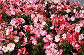 image of begonias  - Begonia pink flowers and green leaves background - JPG