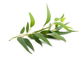 foto of eucalyptus leaves  - eucalyptus branch isolated on a white background - JPG