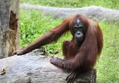 picture of orangutan  - A Big orangutan sits on a log