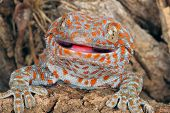 pic of tokay gecko  - Closeup of a Tokay Gecko  - JPG