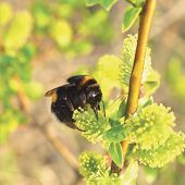 stock photo of humble  - Bumblebee collecting nectar on flowering blooming blossoming willow bush shrub flowers branch - JPG