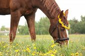 image of horses eating  - Chestnut horse eating dandelions at the pasture in rural area - JPG
