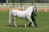 pic of thoroughbred  - Warmblood thoroughbred grey racehorse walking on the showground - JPG