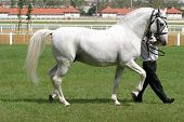 foto of thoroughbred  - Warmblood thoroughbred grey racehorse walking on the showground - JPG