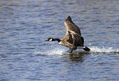 picture of canada goose  - Canada Goose comes in for a landing on a small lake - JPG