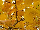 pic of elm  - yellow large elm leaves wither on the branch - JPG