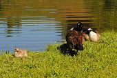 stock photo of mother goose  - Springtime Geese on the Edge of a Pond - JPG