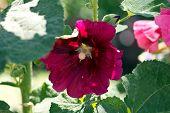 image of hollyhock  - A beautiful blooming hollyhock Alcea rosea in the park  - JPG