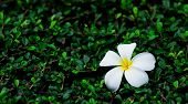 pic of frangipani  - Frangipani flowers white with beautiful green background - JPG